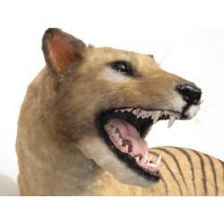Loup de Tasmanie thylacine