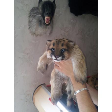 Bébé puma
