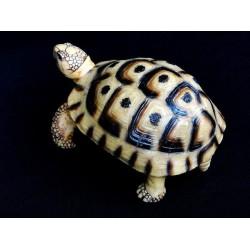 tortue terrestre grecque juvénile