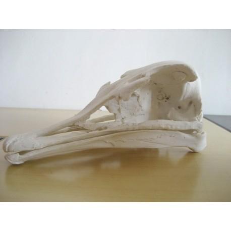 Crâne autruche