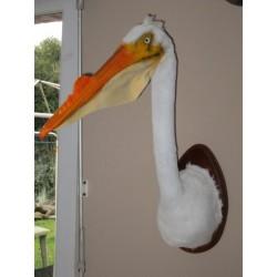 Reconstitution trophée de pélican blanc