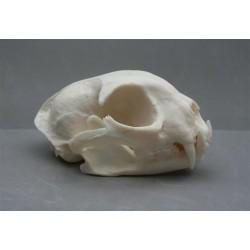 crâne lynx