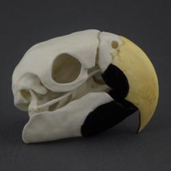 Crâne perroquet Ara Macao