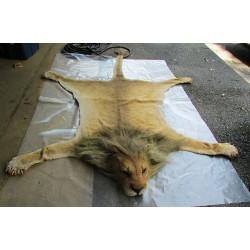 Peau de lion  , tigre, ours entier taille réelle