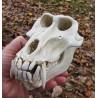 Crâne Mandrill