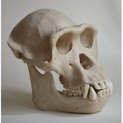 Crâne chimpanzé