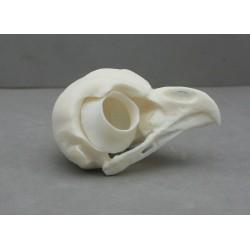 crâne chouette hulotte