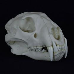 Crâne léopard