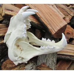 Crâne tigre de Sibèrie