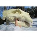 Crâne ours polaire