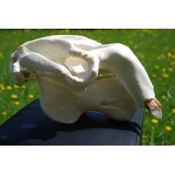 Crâne lamantin   dugong