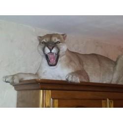 Puma entier taille réelle
