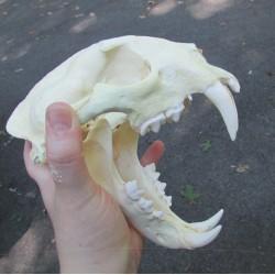 Crâne panthère longibande ou nébuleuse