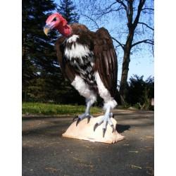 vautour oricou